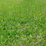 prat verd florit